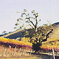 California Vineyard Series Oaks In The Vineyard by Artist and Photographer Laura Wrede