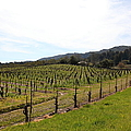 California Vineyards In Late Winter Just Before The Bloom 5d22114 by Wingsdomain Art and Photography