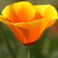 Californian Poppy by Joy Watson