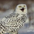 Call Of The North - Snowy Owl by Inspired Nature Photography Fine Art Photography