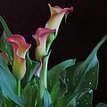 Calla Lilies 3 by Lynne Miller