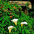 Calla Lilies by Benjamin Yeager