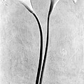 Calla Lilies, Mexico City, 1925 by Tina Modotti