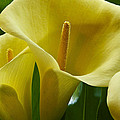 Calla Lily 1 by Ingrid Smith-Johnsen