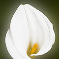 Calla Lily Flower Glow by Richard J Thompson
