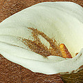 Calla Lily Gold Leaf by Phyllis Denton