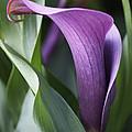 Calla Lily In Purple Ombre by Rona Black