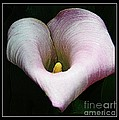 Calla Lily by Kathleen Struckle