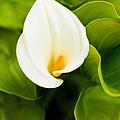 Calla Lily Plant by Richard J Thompson