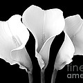Calla Lily Trio In Black And White by Mary Deal