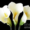 Calla Lily Trio by Mary Deal