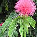 Calliandra Blossom by Alison Stein