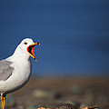 Calling All Gulls by Karol Livote