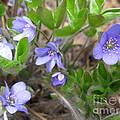 Calling Spring by Ausra Huntington nee Paulauskaite