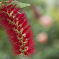 Callistemon Citrinus - Crimson Bottlebrush by Sharon Mau