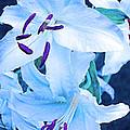 Calming Lily by Alexandra Pollett
