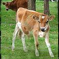 Calves by Cassie Peters