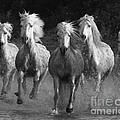 Camargue Horses Running by Carol Walker