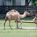 Camel And Emu by Mary Koval