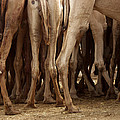 Camel Legs by Carla P White