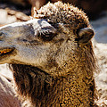 Camel Loose Lip by Pati Photography