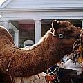 Camel Portrait by Mimi Saint DAgneaux