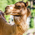 Camel Portrait by Pati Photography