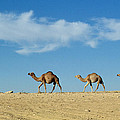 Camel Train by Anonymous