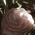 Camellia 2 by Andrea Anderegg
