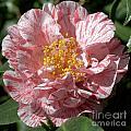 Camellia 2967 by Terri Winkler