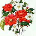 Camellia Adolf Audusson by Ursula Hodgson