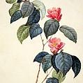 Camellia Japonica by Pierre Joseph Redoute