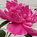 Camellia by Jennifer Wheatley Wolf