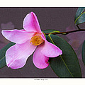 Camellia 'tulip Time' by Saxon Holt