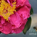 Camellia With Bee by Carol Groenen