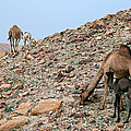 Camels At The Israel Desert -1 by Dubi Roman