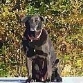 Camouflage Labrador - Black Dog - Retriever by Barbara Griffin
