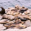 Camouflage Sea Lions by Photographic Art by Russel Ray Photos