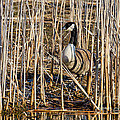 Camouflaged Canada Goose by Les Palenik