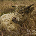Camouflaged Cow by Linsey Williams