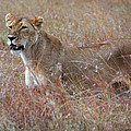 Camouflaged Female Lion In Grass by Carole-Anne Fooks