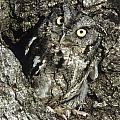 Camouflaged Screech Owl by Larry Allan