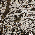 Camouflaged Thrush by Sue Smith