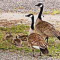 Canada Geese And Goslings by Bob and Nadine Johnston