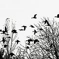 Canada Geese Flight Silhouette by Regina Geoghan