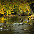 Canada Geese In Autumn Swimming On The Thornapple River by Randall Nyhof