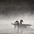 Canada Geese In The Fog Square by Bill Wakeley