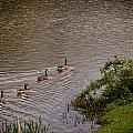 Canada Geese by Mark Llewellyn