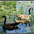 Canada Geese On Lily Pond At Reinstein Woods by Rose Santuci-Sofranko