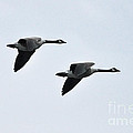 Canada Geese by Ronald Grogan